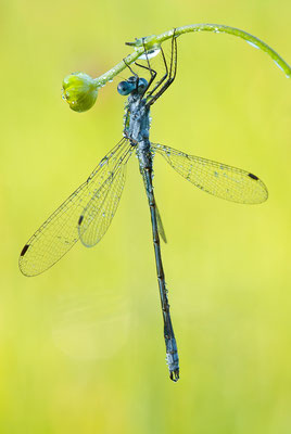 Gemeine Binsenjungfer - Lestes sponsa - common spreadwing
