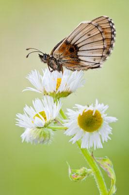 abberanter Wachtelweizen-Scheckenfalter - Melithea athalia - abberant heath fritillary