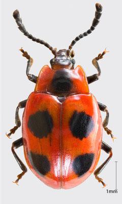 Endomychus coccineus (Linnaeus, 1758)   Scharlachroter Stäublingskäfer