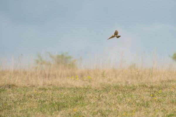Feldlerche - Alauda arvensis - Eurasian skylark