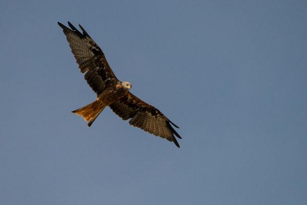 Rotmilan - Milvus milvus - red kite