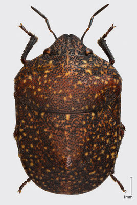 Psacasta exanthematica (Scopoli, 1763) | südeuropäische Schildwanze