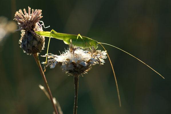 Gemeine Sichelschrecke - Phaneroptera falcata - Sickle-bearing Bush-cricket