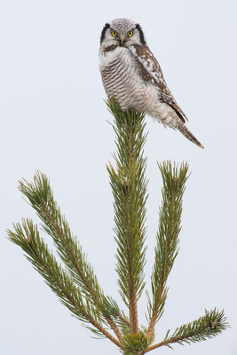 Sperbereule - Surnia ulula - northern hawk-owl