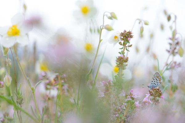 Graublauer Bläuling - Pseudophilotes baton - Baton Blue