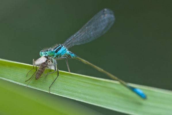 Große Pechlibelle - Ischnura elegans - blue-tailed damselfly