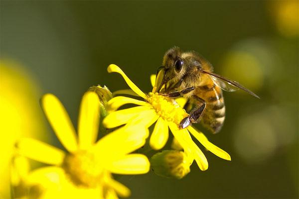 Westliche Honigbiene - Apis mellifera - western honey bee