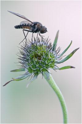 Hummelschweber - Bombylidae