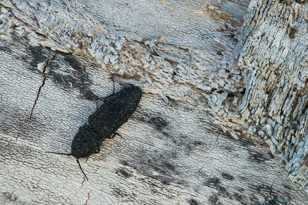 Weißschuppiger Schnellkäfer - Lacon punctatus
