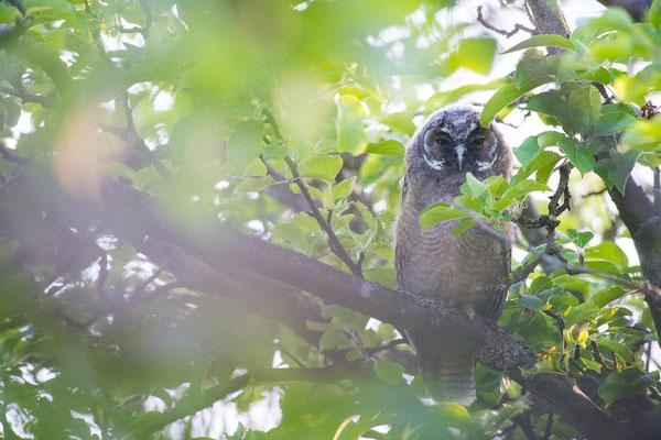 Waldohreule - Asio otus - long-eared owl