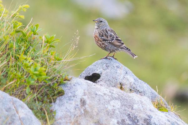 Alpenbraunelle - Prunella collaris - alpine accentor