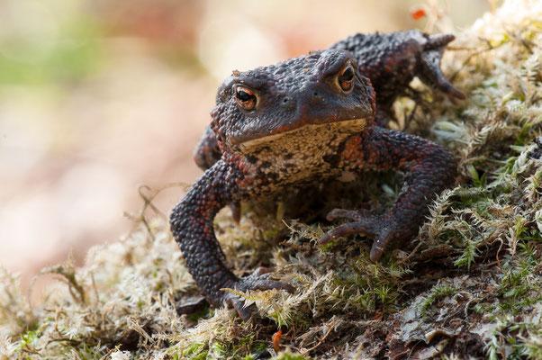 Erdkröte - Bufo bufo - common toad