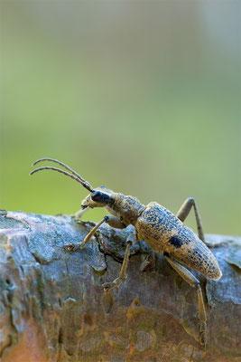 Schwarzfleckiger Zangenbock - Rhagium mordax - blackspotted pliers support beetle