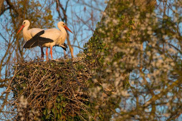 Weißstorch - Ciconia ciconia - white stork