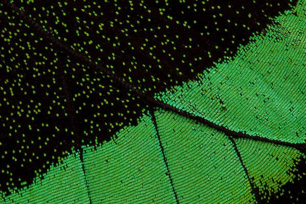 Grüngestreifter Schwalbenschwanz - Papilio palinurus -  Emerald Swallowtail