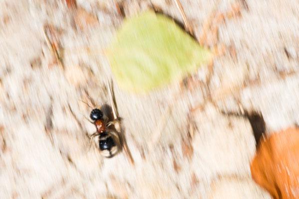 Ameisenwespe - Mutilla europaea cf. - velvet ant