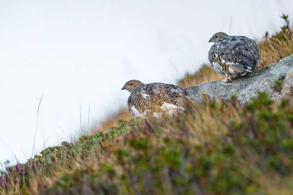 Alpenschneehuhn - Lagopus muta - rock ptarmigan