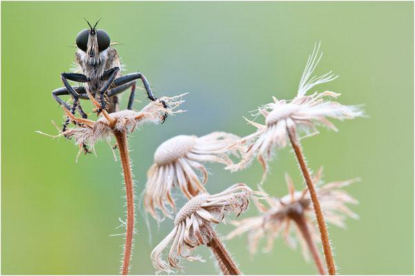Seiden-Raubfliege - Machimus arthriticus - Breck Robberfly