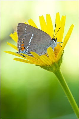 Kreuzdorn-Zipfelfalter - Satyrium spini - Blue Spot Hairstreak