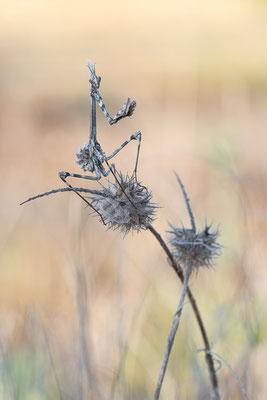 Empuse - Empusa pennata - conehead mantis