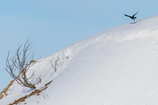 Kolkrabe - Corvus corax - common raven