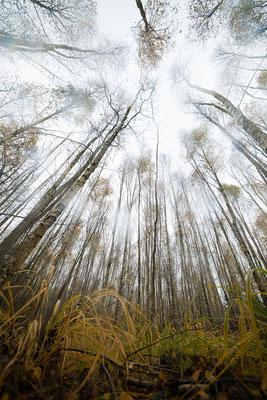 mysti birch forest