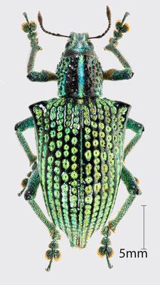 Entimus imperialis (Forster, 1771)   Brasilianischer Rüsselkäfer