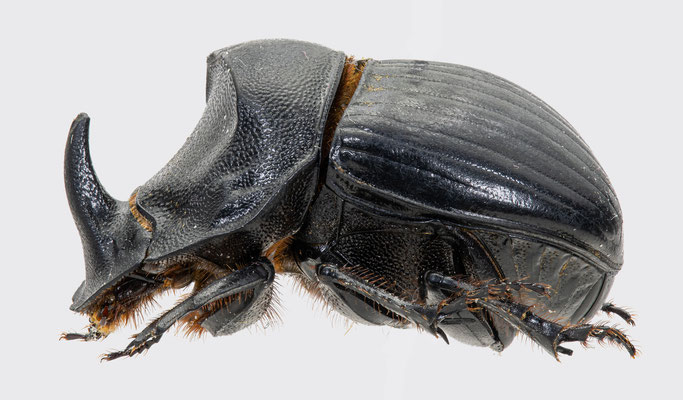 Copris hispanus (Linnaeus, 1764) | Spanischer Mondhornkäfer