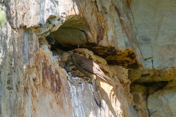 Turmfalke - Falco tinnunculus - common kestrel
