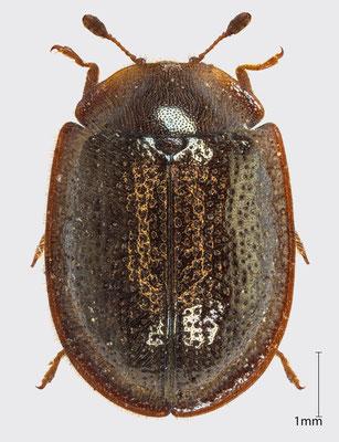 Thymalus limbatus (Fabricius, 1787) | Flachkäfer