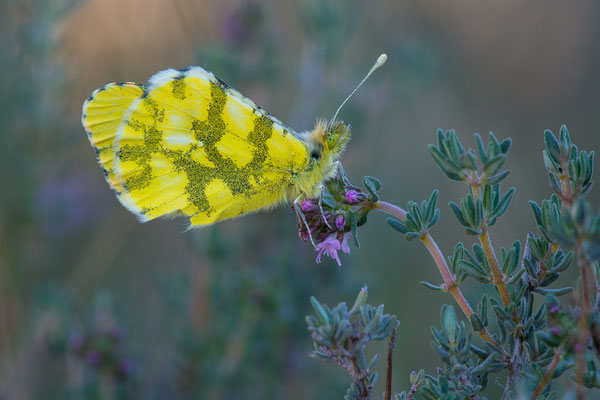 Gelber Aurorafalter - Anthocharis euphenoides - Provence Orange Tip