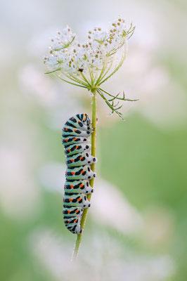 Schwalbenschwanz - Papilio machaon - Old World swallowtail