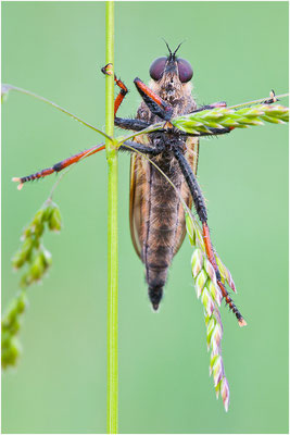 Alabasterfliege - Pamponerus germanicus - Pied-winged Robberfly