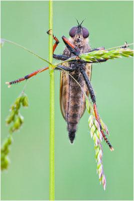 Alabasterfliege - Pamponerus germanicus - Pied-winged Robberfly