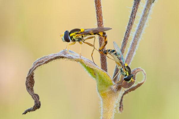 Schwebfliegen - Syrphidae