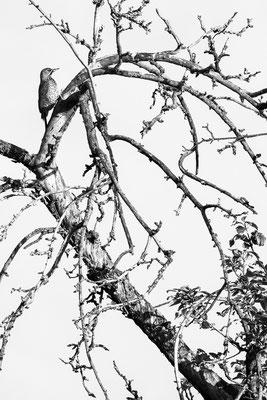 Grünspecht - Picus viridis - European green woodpecker