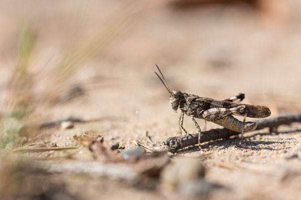Blauflügelige Ödlandschrecke - Oedipoda caerulescens - blue-winged grasshopper