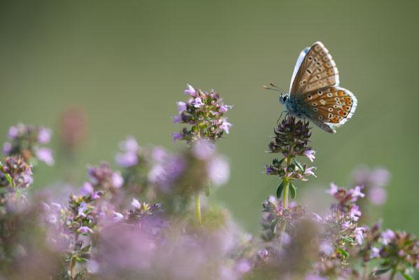 Himmelblaue Bläuling - Polyommatus bellargus - Adonis blue