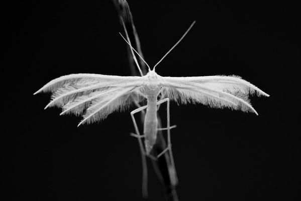Federgeistchen - Pterophorus pentadactyla - White Plume Moth