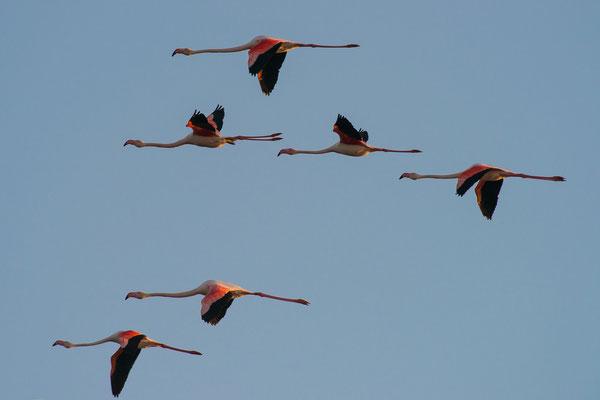 Rosaflamingo - Phoenicopterus roseus - greater flamingo