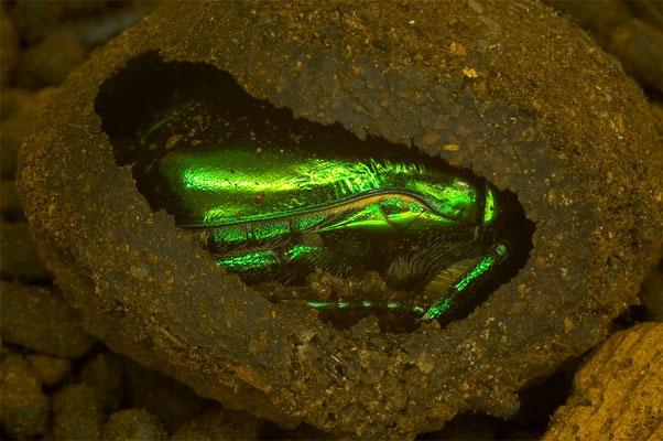 Großer Goldkäfer - Protaetia aeruginosa