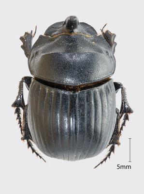 Copris hispanus (Linnaeus, 1764)   Spanischer Mondhornkäfer