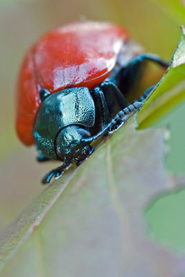 Pappelblattkäfer - Melasoma populi - broad-shouldered leaf beetle