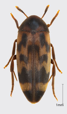 Orchesia undulata Kraatz, 1853 | Düsterkäfer