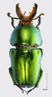 Lamprima aurata Latreille, 1817 | Australischer Hirschkäfer
