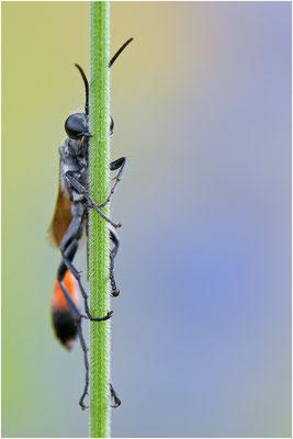 Sandwespe - Ammophila sp. - sand wasp