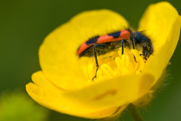 Zottiger Bienenkäfer - Trichodes alvearius