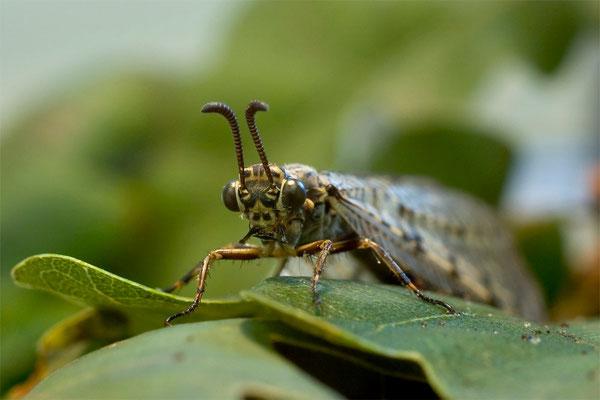 Gefleckte Ameisenjungfer - Euroleon nostras - antlion