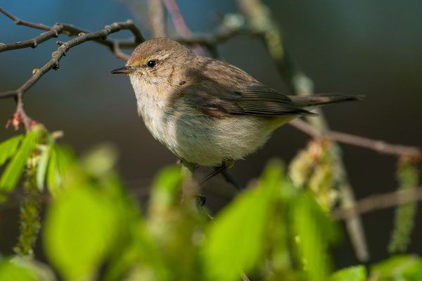 Fitis - Phylloscopus trochilus - willow warbler