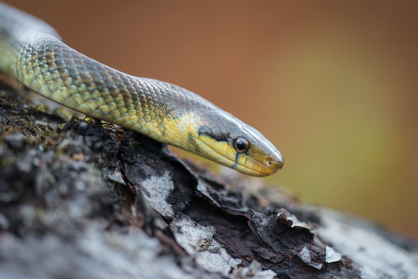 Äskulapnatter - Zamenis longissimus - Aesculapian snake